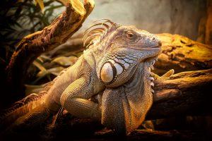Spanisch Reptilien